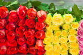Roses as background — Stock Photo