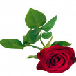 Stock Photo: Beautiful red rose isolated