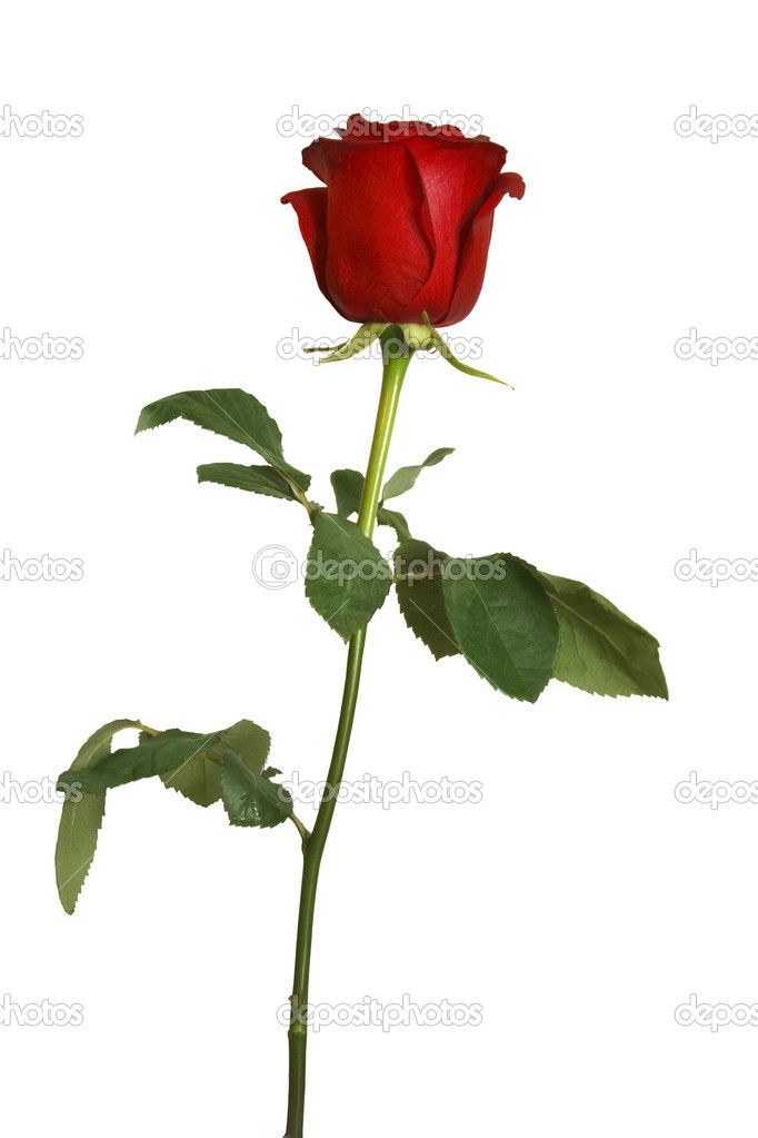 Beautiful red rose isolated  Stock fotografie #3706404
