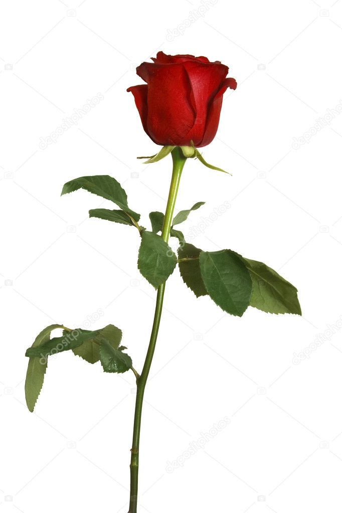 Beautiful red rose isolated  Foto de Stock   #3706404