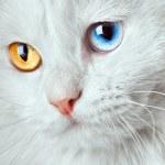 Varicoloured eyes white cat — Stock Photo