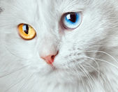 Varicoloured eyes white cat — Stock Photo
