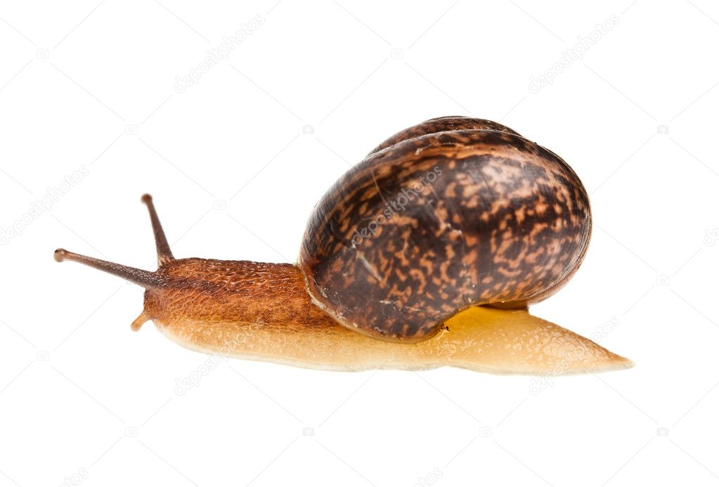 Edible snail on a white background — Stock Photo #3297491