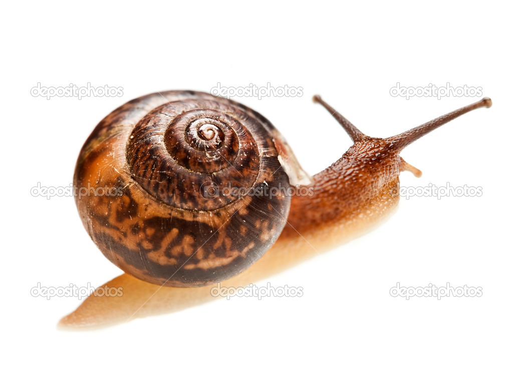 Edible snail on a white background  Photo #3297507