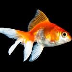Goldfish — Stock Photo #3809159