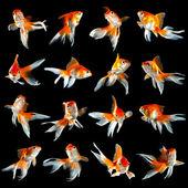 Sixteen goldfishs — Stock Photo