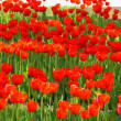 Stock Photo: Meadow with large number of tulips