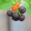 Blackberry fruits — Stock Photo