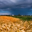Golden wheat ready for harvest growing in a farm field under blu - Stok fotoğraf