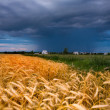 Golden wheat ready for harvest growing in a farm field under blu - Stock fotografie