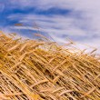 Golden wheat ready for harvest growing in a farm field under blu - Photo
