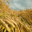 Stock Photo: Golden wheat ready for harvest growing in farm field