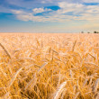 Golden wheat ready for harvest growing in a farm field under blu - Stock Photo