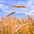 Golden wheat ready for harvest growing in a farm field under blu — Stock Photo