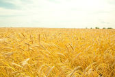 Golden wheat ready for harvest growing in a farm field — Stock Photo