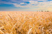 Golden wheat ready for harvest growing in a farm field under blu — Foto Stock