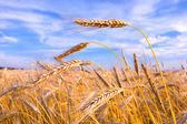 Golden wheat ready for harvest growing in a farm field under blu — Stock Photo