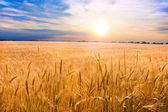 Golden wheat ready for harvest growing in a farm field under blu — ストック写真