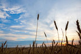 Golden wheat ready for harvest growing in a farm field sunset — Stock Photo