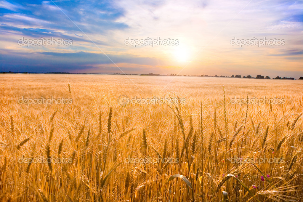 Golden wheat ready for harvest growing in a farm field under blue sky. With a brilliantly detailed foreground — Stock Photo #4452606