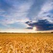 Foto de Stock  : Golden wheat ready for harvest growing in a farm field under blu