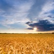 Golden wheat ready for harvest growing in a farm field under blu — Stok fotoğraf