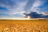 Golden wheat ready for harvest growing in a farm field under blu — Stockfoto