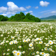 Stock Photo: Idyllic daisy meadows