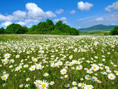 Idyllic daisy meadows — Stock Photo