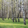 Stock Photo: Birchwood