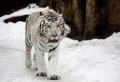 White Bengal Tiger — Stock Photo