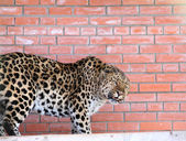 Growling leopard against brick wall — Stock Photo