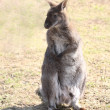 Stock Photo: Bennets kangaroo