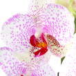Stock Photo: Blooming white orchids