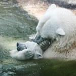 oso polar — Foto de Stock