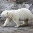Polar bear — Stockfoto #3317381