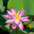 Beautiful flowers of a lotus — Stock Photo