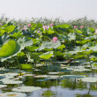 Beautiful flowers of a lotus - Stok fotoraf