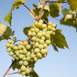 Stock Photo: Grapevine