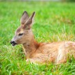 Small cub of a deer on a green grass - Stock Photo