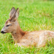 Small cub of a deer - Stock Photo