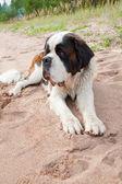 Puppy of a St. Bernard — Stock Photo