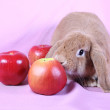 Decorative dwarfish rabbit - Stock Photo