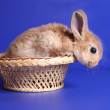 Decorative red cub of a rabbit — Stock Photo