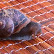 Snail — Stock Photo