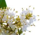 Bloeiende bush — Stockfoto