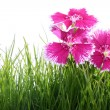 Clove carnation - Stock Photo