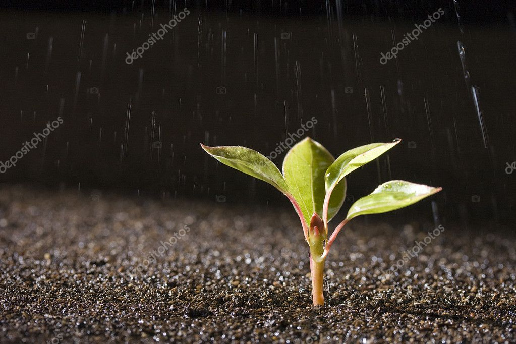 A young green plant with water on it growing out of brown soil.   #3591885