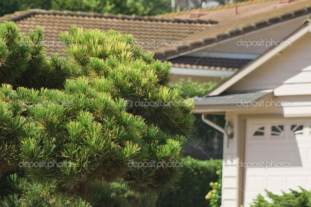 Evergreen tree in a suburban residential area. — Stock Photo #3862458