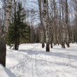 Stock Photo: Ski track in winter birch forest